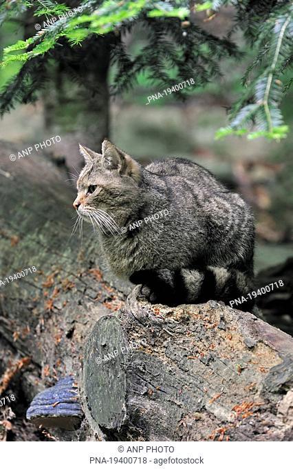 Wildcat Felis silvestris - Bavarian Forest National Park, Tierfreigelènde Nationalpark Bayerischer Wald, Neuschonau, Niederbayern, Lower Bavaria, Bavaria