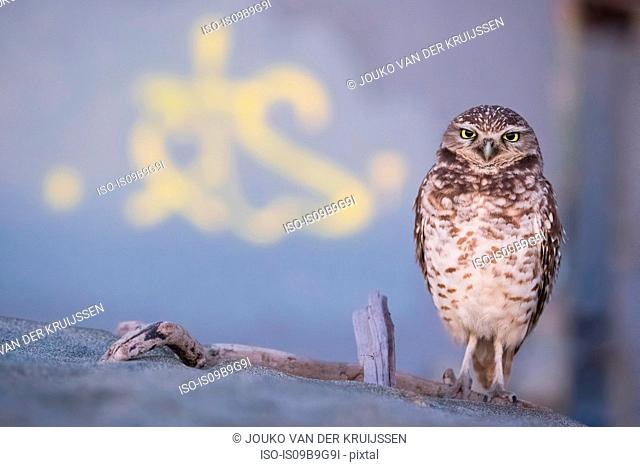 Burrowing Owl (Athene cunicularia), Ocean Beach, San Francisco, California, United States, North America