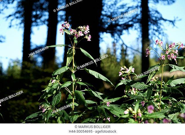Leuzigen wood, Neophyten, Springkraut, Impatiens, invasive Neophyten, invasive Neophyt, Impatiens glandulifera, wood, mixed forest, economic wood, invasion