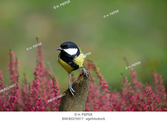 great tit (Parus major), on a post on autumn with blooming heather, Germany, North Rhine-Westphalia