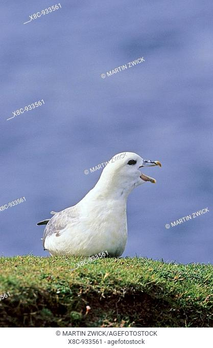 Northern Fulmar Fulmarus glacialis  Portrait  The only speces of tubenoses in the northern hemisphere  The bird is known for the defence strategy to spit an...