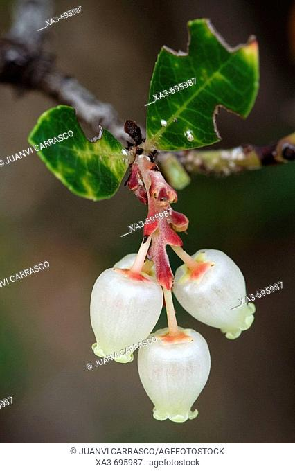 Strawberry tree (Arbutus unedo) flowers
