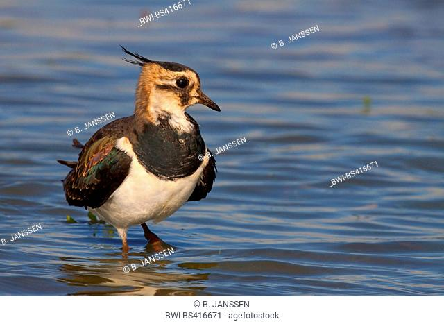 northern lapwing (Vanellus vanellus), adult bird in eclipse plumage standing in shallow water, Germany, Schleswig-Holstein