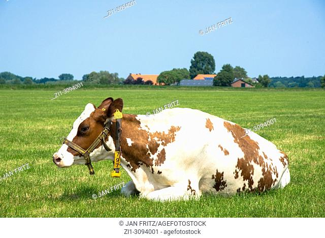 view at countryside with cow in Gelderland, Holland
