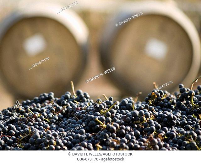 Grapes harvested for wine near Paso Robles, California, USA
