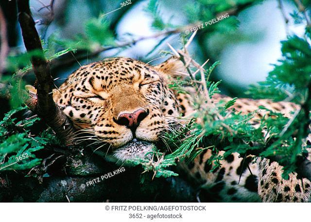 Leopardess. Masai Mara. Kenya