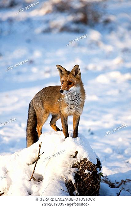 Red Fox, vulpes vulpes, Adult standing on Snow, Normandy