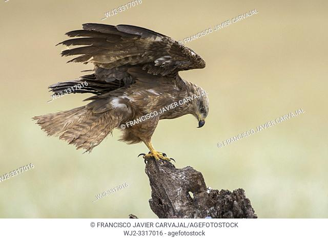 Black Kite (Milvus migrans), landing on a trunk, in a pasture in Extremadura, Spain