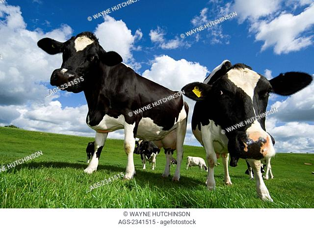 Livestock - Curious Holstein dairy cows on a green pasture in early Summer / Cumbria, England, United Kingdom