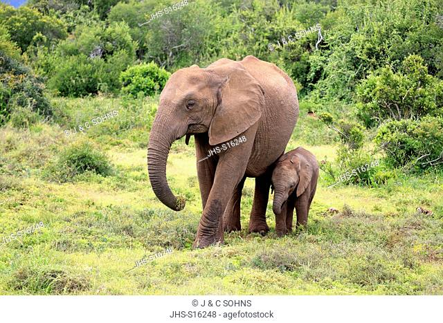 African Elephant, (Loxodonta africana), mother with young foraging, Addo Elephant Nationalpark, Eastern Cape, South Africa, Africa
