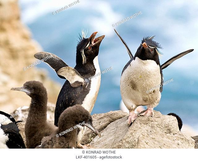 Rockhopper Penguins, Eudyptes chrysocome, Falkland Islands, Subantarctic, South America