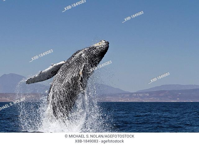 Humpback whale Megaptera novaeangliae breaching near Isla San Marcos in the Gulf of California Sea of Cortez, Baja California Sur, Mexico