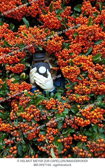 Paparazzi figure with a camera in Firethorn (Pyracantha), Bavaria, Germany