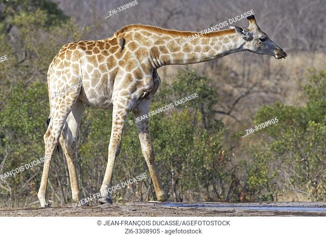South African giraffe (Giraffa camelopardalis giraffa), adult male at a waterhole with two red-billed oxpeckers (Buphagus erythrorhynchus), Kruger National Park