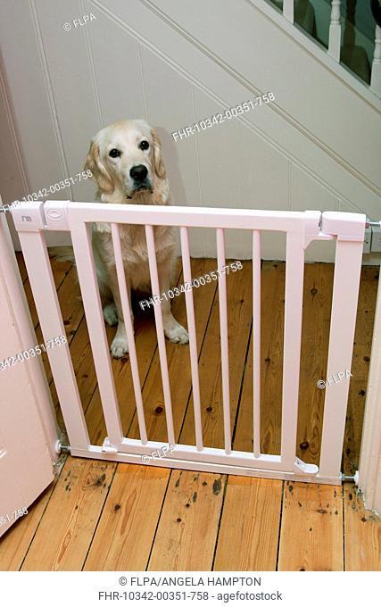 Domestic Dog, Golden Retriever, puppy, sitting behind stairgate, England