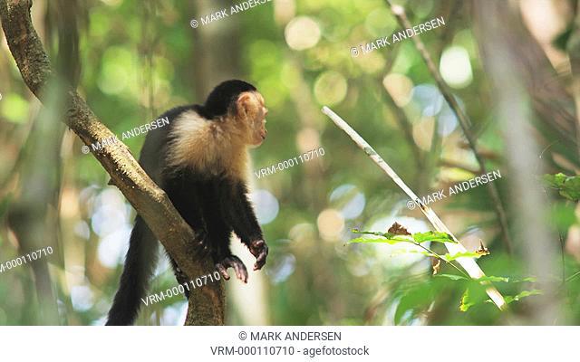 capuchin monkey in a tree