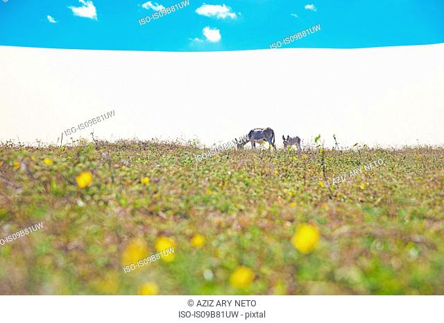 Donkey and foal grazing in Jericoacoara national park, Ceara, Brazil, South America