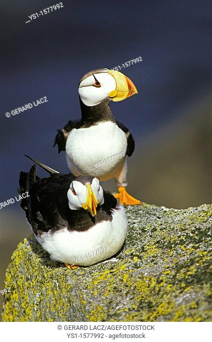 Horned Puffin, fratercula corniculata, Pair standing on Rock, Round Island in Alaska