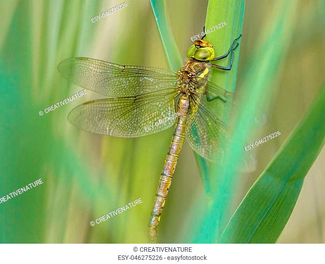 Green-eyed hawker (Aeshna isoceles) dragonfly resting on reed with blurred green background