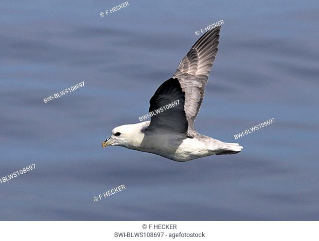 northern fulmar Fulmarus glacialis, flying over the sea