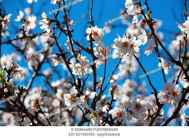 Blühende Mandelbaumzweige