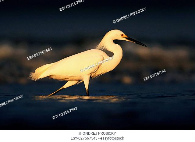 First light with bird. Heron with sun in the morning sunrise. Sn