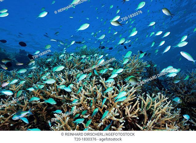 Shoal of Chromis over Reef, Chromis atripectoralis, Thaa Atoll, Maldives