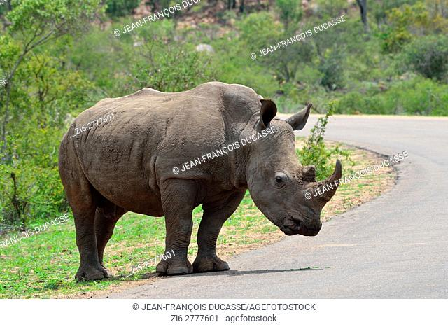 White rhinoceros or Square-lipped rhinoceros (Ceratotherium simum), adult male at the edge of a paved road, ready to cross, Kruger National Park, South Africa