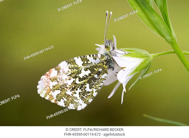 Orange-tip Butterfly (Anthocharis cardamines) adult male, roosting on Greater Stitchwort (Stellaria holostea) flower, Powys, Wales, May