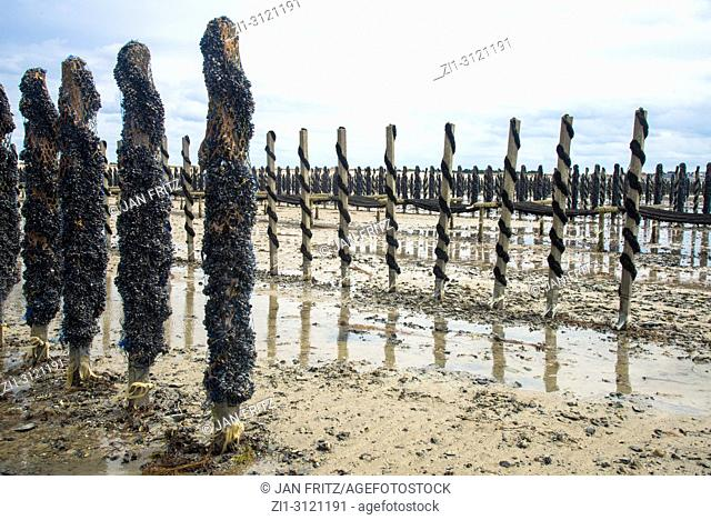 Mussel farming, Normandy, France