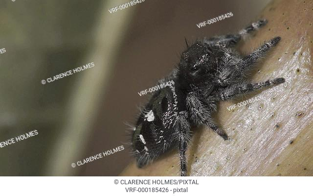 A Bold Jumper Phidippus audax jumping spider hunts on the stem of a milkweed plant