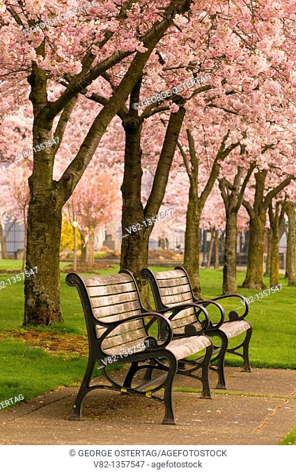 Cherry tree bloom with park bench, Tom McCall Waterfront Park, Portland, OR