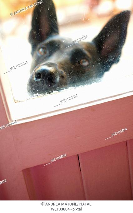An black dog muzzle against the window door