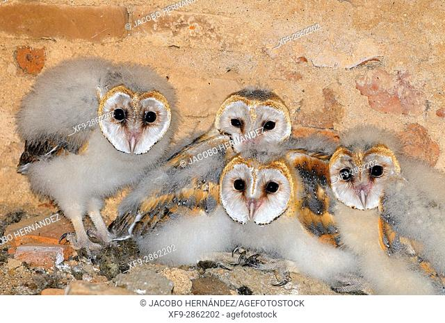 Barn owl chicks (Tyto alba).La Albuera.Badajoz province Extremadura.Spain