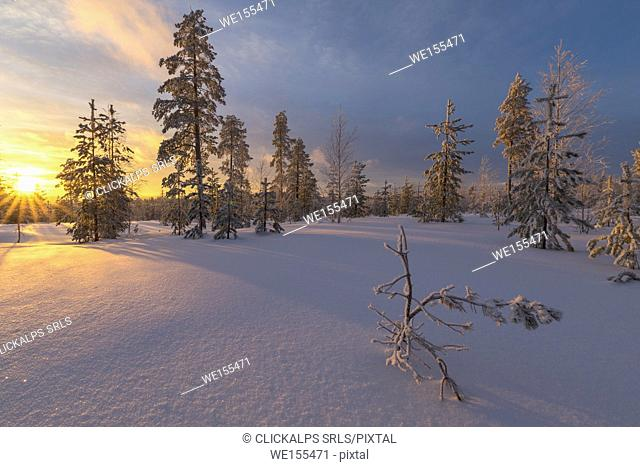 The lights of the arctic sunset illuminate the snowy woods Vennivaara Rovaniemi Lapland region Finland Europe