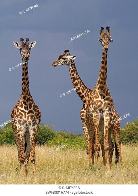 Masai giraffe (Giraffa camelopardalis tippelskirchi), three giraffes in savannah, Kenya, Masai Mara National Park