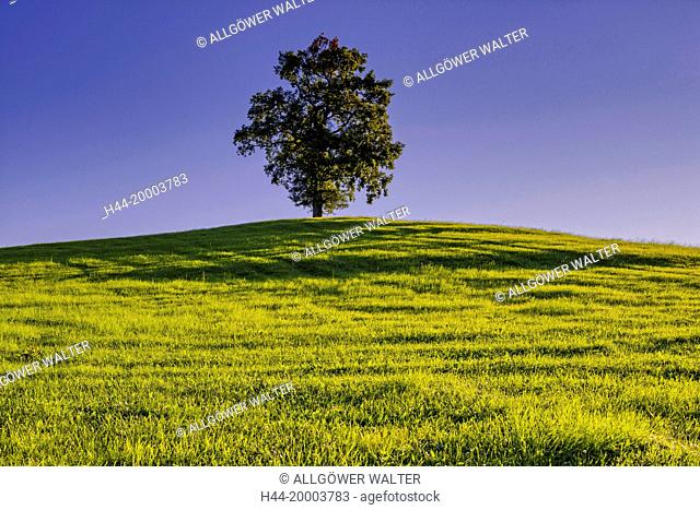 oak in Bavaria