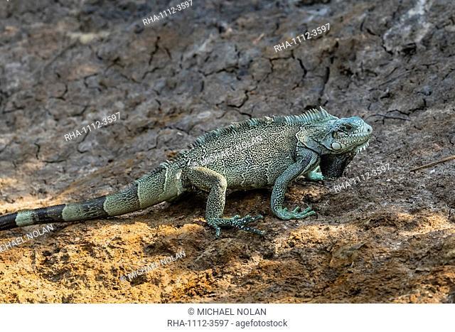 An adult green iguana (Iguana iguana), Pousado Rio Claro, Mato Grosso, Pantanal, Brazil, South America