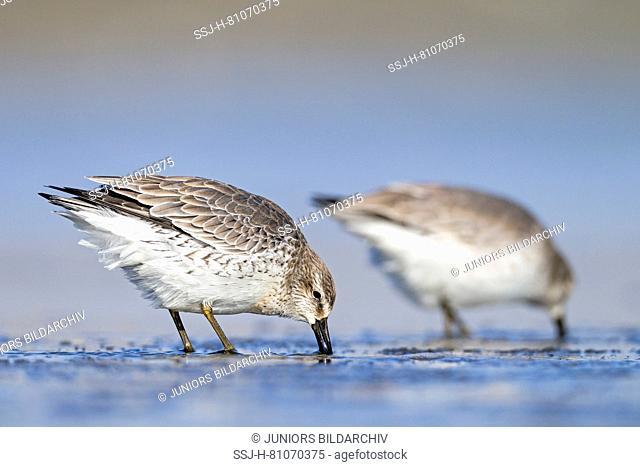 Knot (Calidris canutus). Two adults feeding on inter-tidal mud. Germany