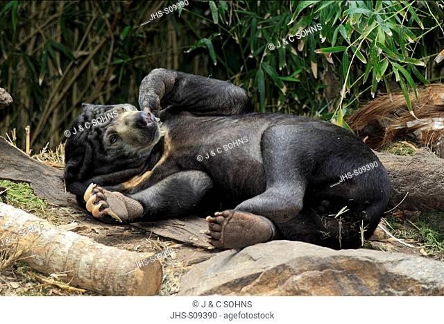 Malayan Sun Bear/Helarctos malayanus,Asia,adult resting on rock
