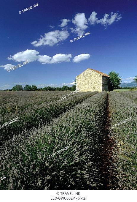 View Over Lavender Fields to a Stone Hut  Plateau de Valensole, Alpes-de-Haute Provence, France