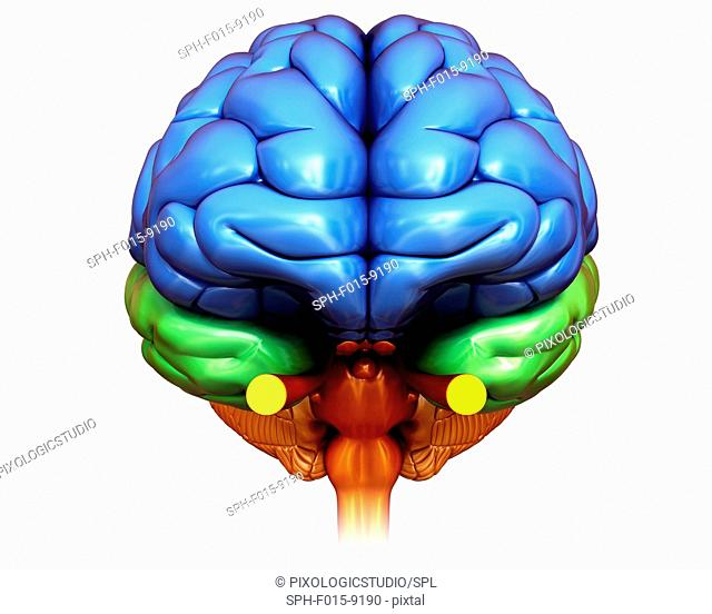 Illustration of human brain anatomy