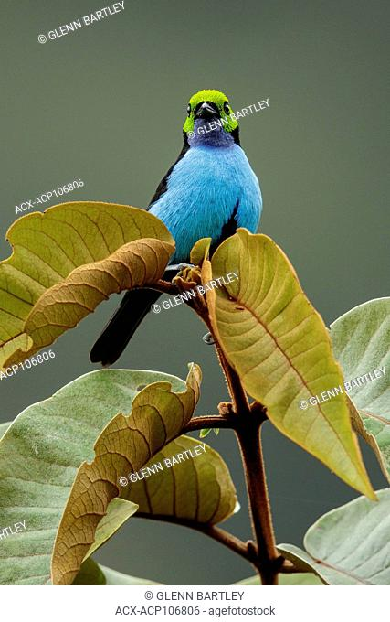 Paradise Tanager (Tangara chilensis) perched on a branch in Manu National Park, Peru