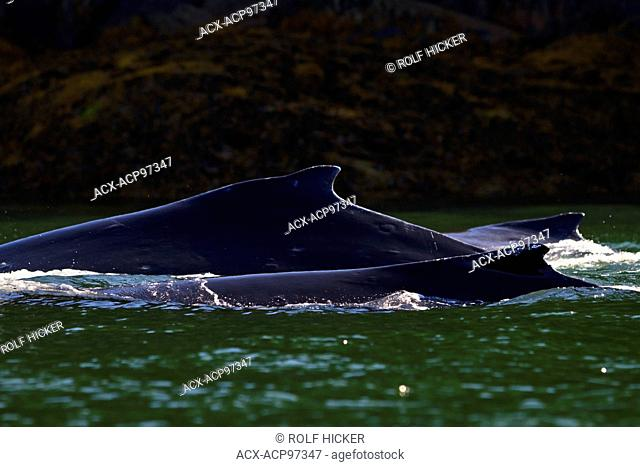 Three humpback whales (Megaptera novaengliae) travelling close to shore in Knight Inlet, British Columbia, Canada