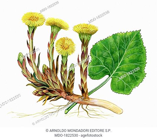 Coltsfoot (Tussilago farfara), by Giglioli E., 20th Century, ink and watercolour on paper. Whole artwork view. Drawing of the plant and the flower of coltsfoot