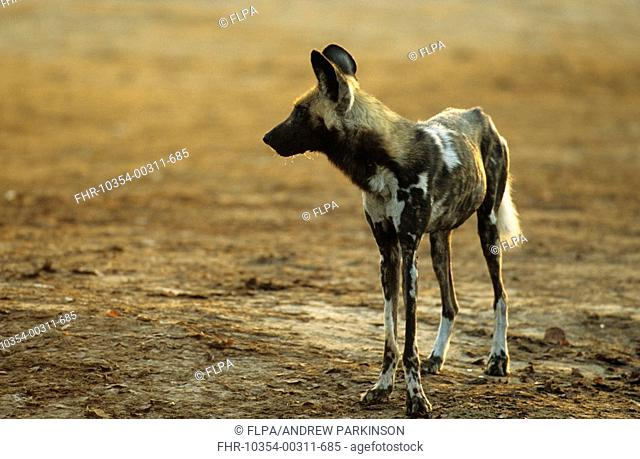 African Wild Dog Lycaon pictus adult standing at waterhole edge, Savuti, Chobe N P , Botswana