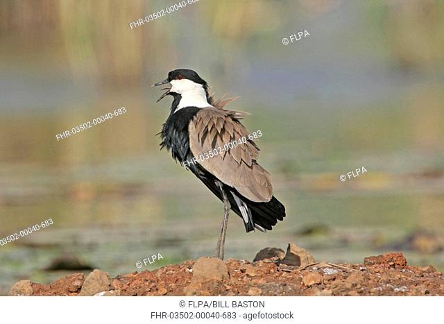 Spur-winged Lapwing Vanellus spinosus adult, calling, standing at edge of water, Gambia, december