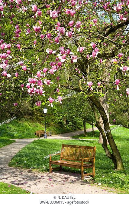 saucer magnolia (Magnolia x soulangiana, Magnolia soulangiana, Magnolia x soulangeana, Magnolia soulangeana), park bench standing under a saucer magnolia