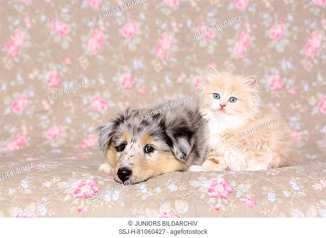 Selkirk Rex and American Collie. Kitten (6 weeks old) and puppy next to each other. Studio picture seen against a floral design wallpaper. Germany