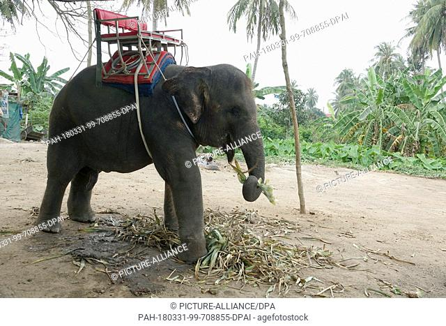 26 February 2018, Thailand, Damnoen Saduak: A chained elephant. Rides on elephants are offered here. Sadly, elephants in these camps are not treated...